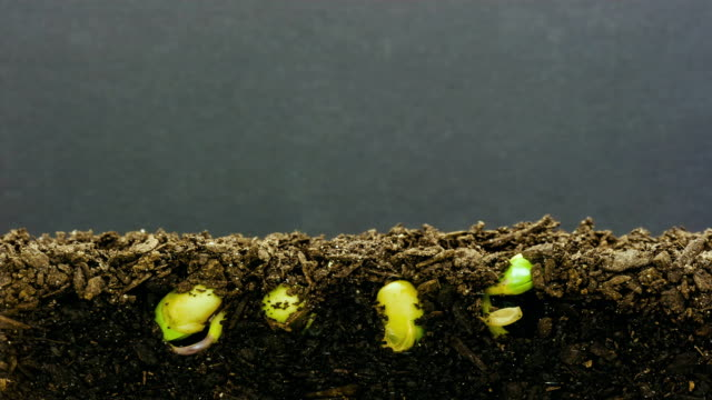 stockvideo's en b-roll-footage met soybeans growing agains a black background - spruitjes