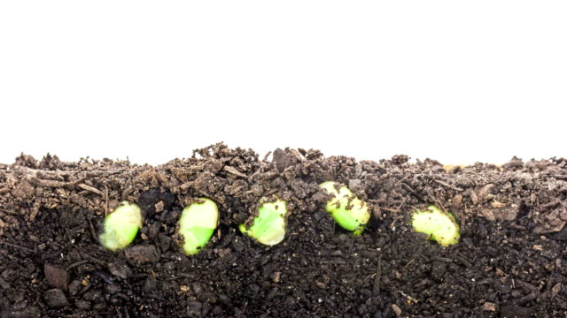 Soybeans growing agains a white background video