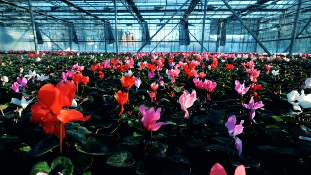 Geräumiges Gewächshaus mit vielen hellen Blumen – Video