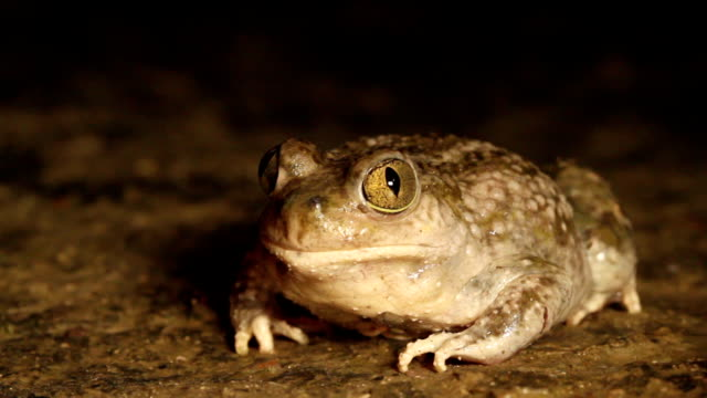 Spadefoot Toad Spadefoot Toad behavior amphibian stock videos & royalty-free footage