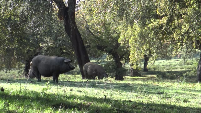 4K Spanish Hogs Eating Acorn a good day of winter with Sun's Rays in field 4K Black Iberian Pigs To Pass Through The Oak Trees in the Dehesa of Extremadura, Spain. Spanish Hogs Eating Acorn a good day of winter with Sun's Rays in the field.-Dan pork stock videos & royalty-free footage