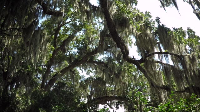 Spanish Moss Forest
