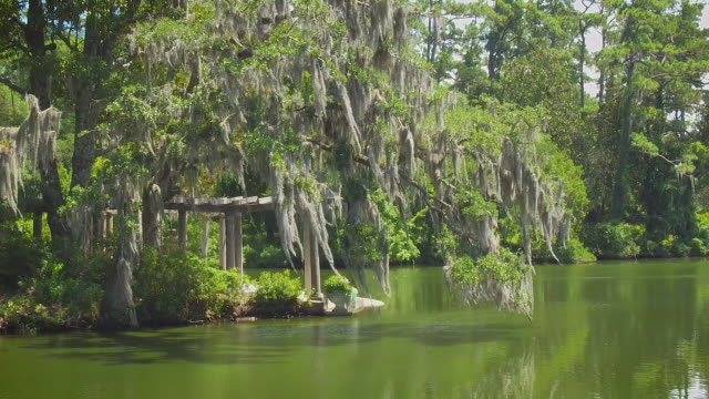 Spanish Moss in the Swamp Establishing Shot Spanish moss drips from old trees over green, stagnant water. swamp stock videos & royalty-free footage