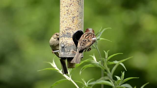 Sparrow bully video