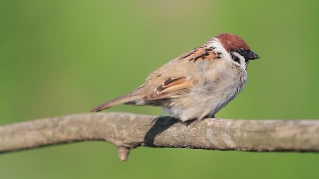 sparrow does wing warm-up sitting on a branch