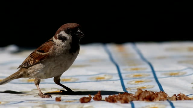 Sparrow Eat Cereal video