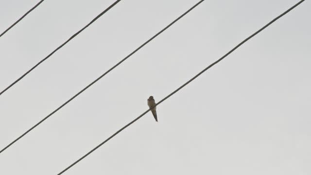 sparrow sits on a high-voltage line - cavo d'acciaio video stock e b–roll
