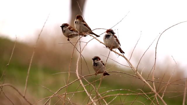 Sparrows are sitting on branch video