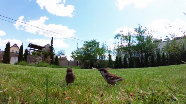 sparrows eating bread on the lawn - ornitologia video stock e b–roll