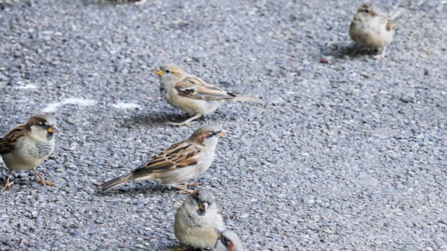 Sparrows eating. video
