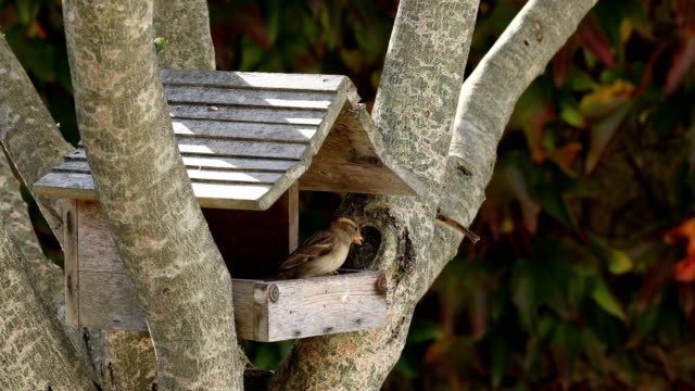 sparrows fight for seeds - capanna video stock e b–roll