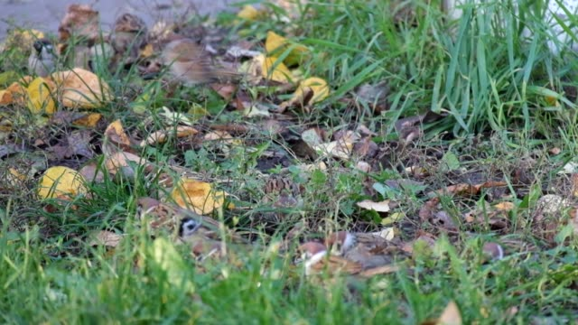 Sparrows in the grass pecking seeds video