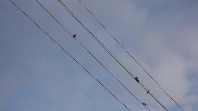 sparrows sit on electric cables - cavo d'acciaio video stock e b–roll