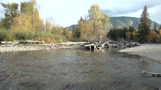 laichen adams river sockeye lachs 4k uhd - laichen stock-videos und b-roll-filmmaterial