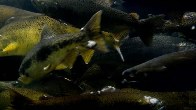 Spawning Coho Salmon 1 video