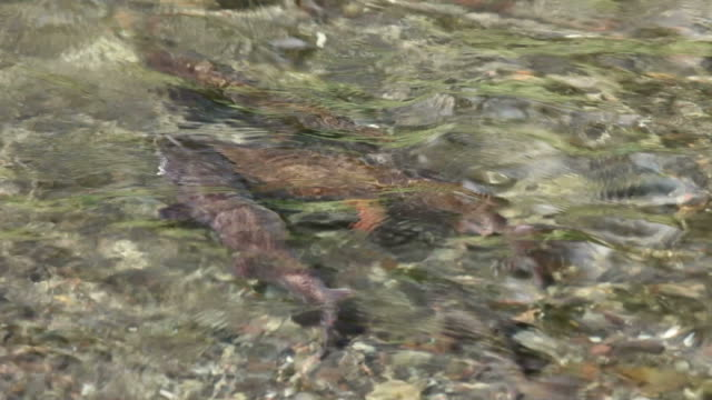 spawning cutthroat trout fish yellowstone national park underwater - trout video stock e b–roll