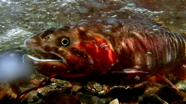 spawning cutthroat trout - trout video stock e b–roll