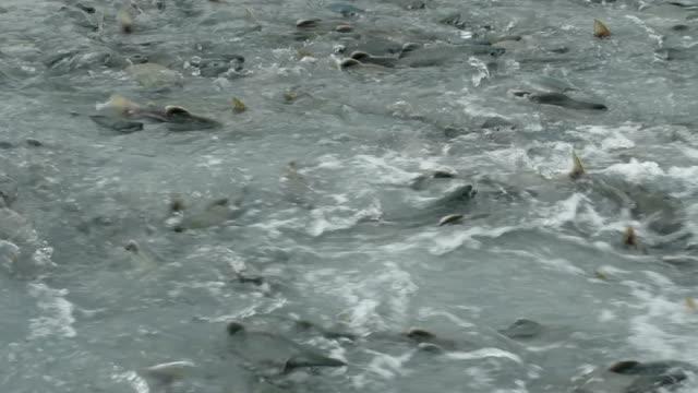 Spawning Pink Salmon Alaska