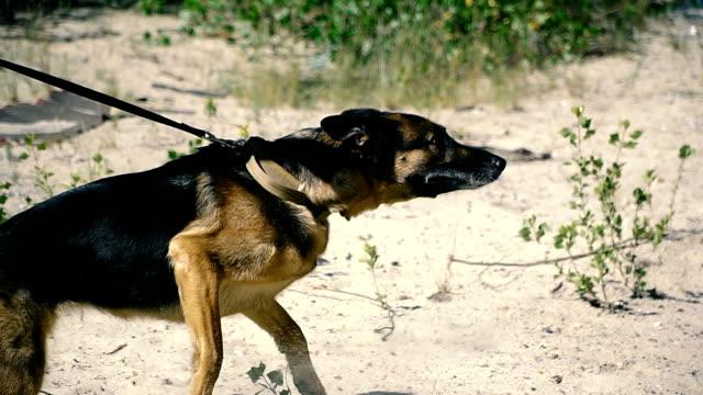 vídeos y material grabado en eventos de stock de un perro especial. guarda con un perro entrenado - dureza