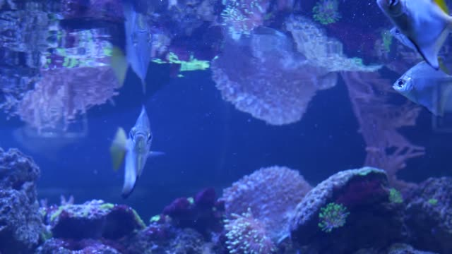 species of soft corals and fishes in lillac aquarium under violet or ultraviolet uv light. purple fluorescent tropical aquatic paradise exotic background, coral in pink vibrant fantasy decorative tank - {{relatedsearchurl(carousel.phrase)}} video stock e b–roll