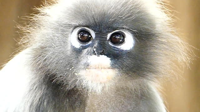 Spectacled langurs in nature. video
