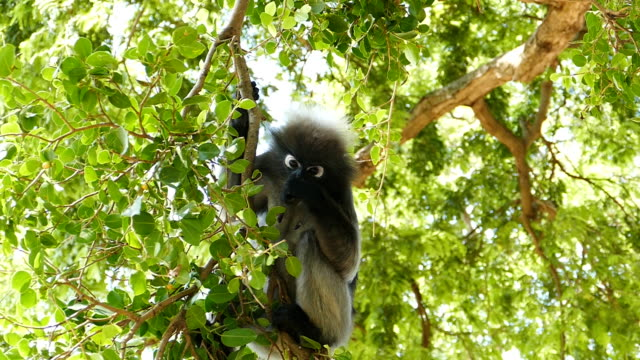 Spectacled langurs on the tree. video