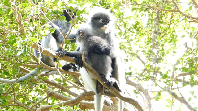 Spectacled langurs on the tree video