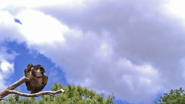 メガネフクロウ、pulsatrix perspicillata、分岐、スローモーションから離陸、飛行中大人 - 鳥点の映像素材/bロール