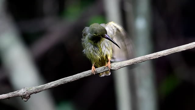 Spectacled Spiderhunter Bird Beautiful bird, Spectacled Spiderhunter (Arachnothera flavigaster) perching on a branch at Krung Ching Waterfall, Khao Luang National Park, Thailand. nakhon si thammarat stock videos & royalty-free footage