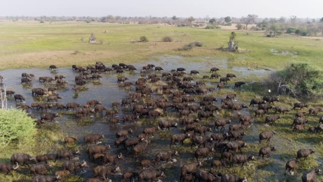 Spectacular aerial close-up side view fly over of a large herd of Cape buffalo walking through marshy wetland in the Okavango Delta, Botswana video
