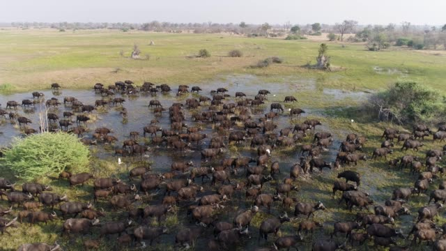 Spectacular aerial close-up side view of a large herd of Cape buffalo walking through marshy wetland in the Okavango Delta, Botswana video