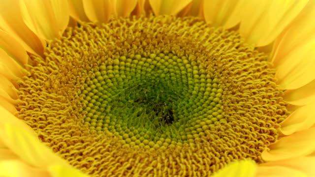 spectacular sunflower bloom - sunflower стоковые видео и кадры b-roll