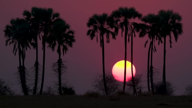 Spectacular time-lapse of the sun rising with palm trees in silhouette Makgadikgadi Pans, Botswana Spectacular time-lapse of the sun rising with palm trees in silhouette Makgadikgadi Pans, Botswana makgadikgadi pans national park stock videos & royalty-free footage