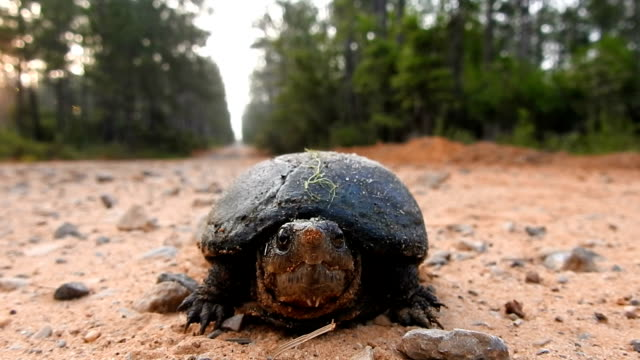 Sped-up, low angle shot of mud turtle facing camera on forest road