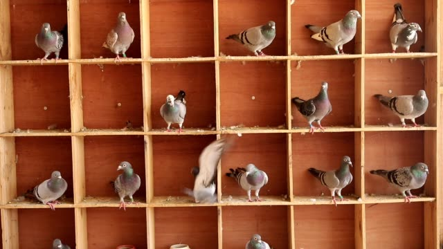 speed racing pigeon in home loft - colombaccio video stock e b–roll