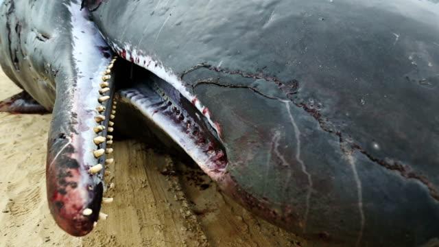 Sperm whale fetus detail video