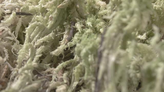 Sphagnum moss. Peat moss. Close-up. Green vegetation.