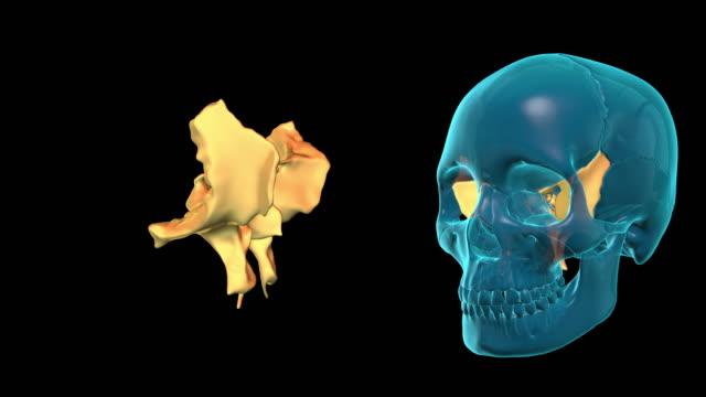 Sphenoid Bone video
