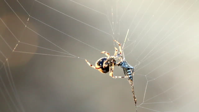 Spider and  the prey Shooting  by canon 70D arthropod stock videos & royalty-free footage