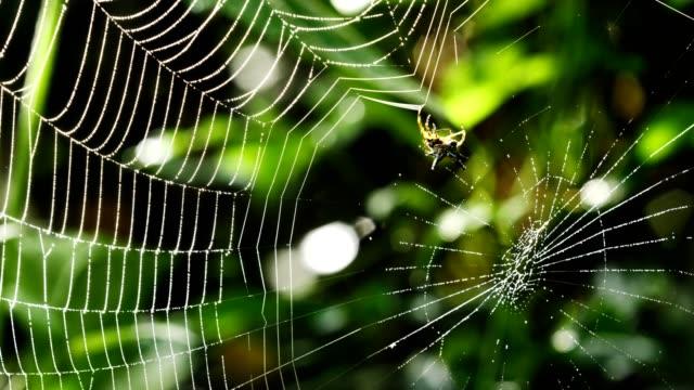spindel (hosselt's spiny spider) bygga en webbplats i skogen, thailand. - spindelväv bildbanksvideor och videomaterial från bakom kulisserna