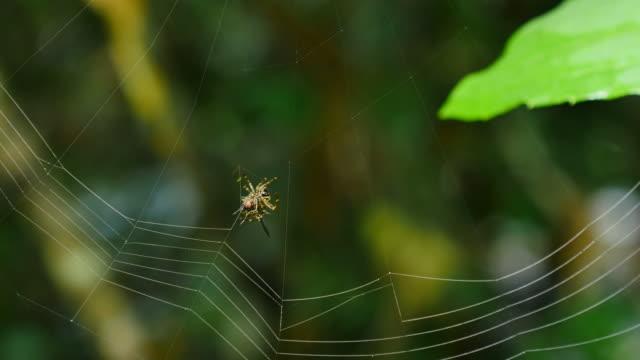 vídeos y material grabado en eventos de stock de araña construyendo una web en bosque, tailandia. - telaraña