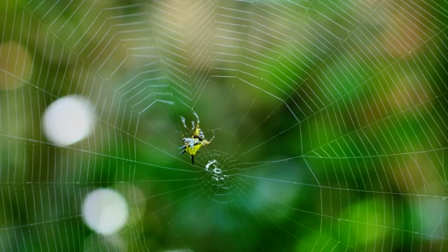 Spider (Hosselt's Spiny Spider) Building a web in forest, Thailand. video