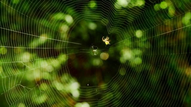spindel bygga sitt nät. (tidsinställd) - spindel arachnid bildbanksvideor och videomaterial från bakom kulisserna