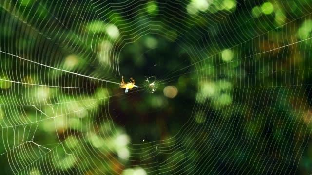spindel (hosselt's spiny spider) bygga sitt nät. (tidsinställd) - spindel arachnid bildbanksvideor och videomaterial från bakom kulisserna