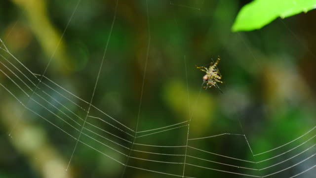 Spider building its web. video