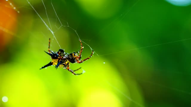 Spider (Hosselt's Spiny Spider) clean it'self on web in forest, Thailand. video