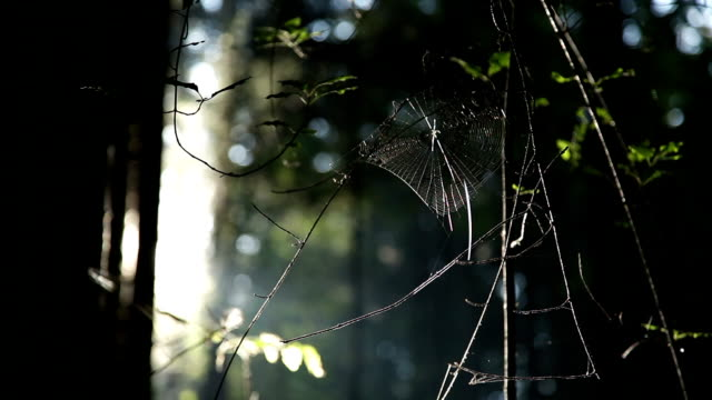 HD - Spider Cobweb in Woods video