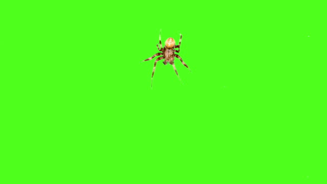 Spider crawls on the screen on a green background. One click selection and overlay in the video editor