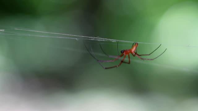 spider giant northern golden orb weaver (nephila pilipes)  male on a web - pająk filmów i materiałów b-roll
