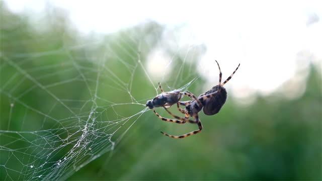 spindel jakt hans offer mot grön bakgrund, slowmotion - spindel arachnid bildbanksvideor och videomaterial från bakom kulisserna